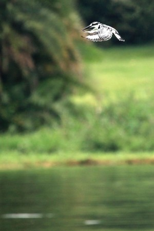 ngamba: Kingfisher - Wildlife Sanctuary, Game Reserve - Uganda, East Africa