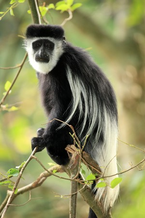 wetland conservation: Black and White Colobus at the Lake Nkuruba in Uganda - The Pearl of Africa