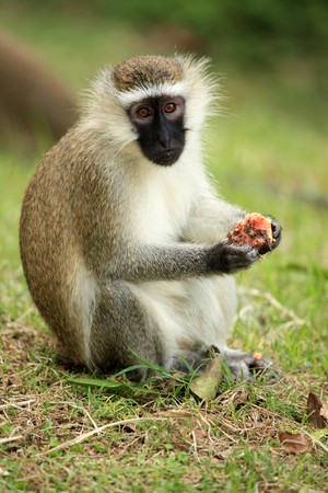 developing country: Vervet Monkey at the Lake Nkuruba in Uganda - The Pearl of Africa Stock Photo
