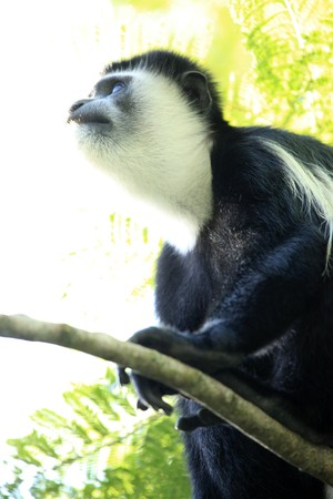 developing country: Black and White Colobus at the Lake Nkuruba in Uganda - The Pearl of Africa