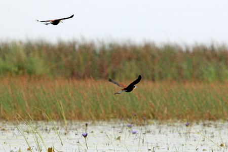 African Jacana Bird at the Lake Opeta in Uganda - The Pearl of Africa photo