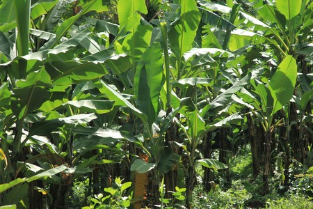 developing country: Banana Plantation in Uganda - The Pearl of Africa