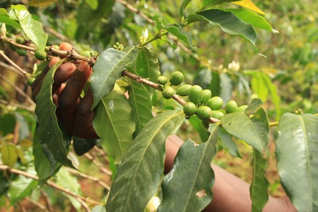Coffee Plant in Uganda - The Pearl of Africa Stock Photo