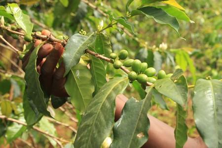 planta de cafe: Planta de caf� en Uganda - la Perla de �frica  Foto de archivo
