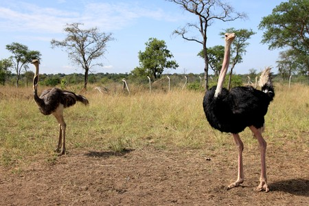 developing country: Ostrich - Uganda - The Pearl of Africa