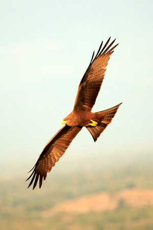 Geel Billed Kite Soroti Rock in Oeganda - de parel van Afrika  Stockfoto