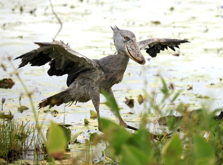 Wild Shoebill in natiral habitat - Lake Opeta, Uganda, Africa photo