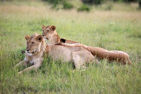 maasai mara: Lion - Masai Mara National Park in Kenya, Africa