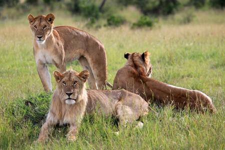 maasai mara: Lion - Maasai Mara National Park in Kenya, Africa