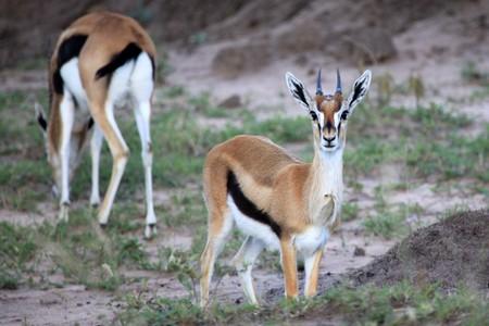 maasai mara: Key Gazelle - Masai Mara National Park in Kenya, Africa