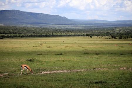 maasai mara: Thompsons gazzella - Masai Mara National Park in Kenya, Africa