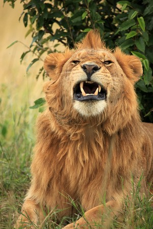 Male Lion - Maasai Mara National Park in Kenya, Africa photo
