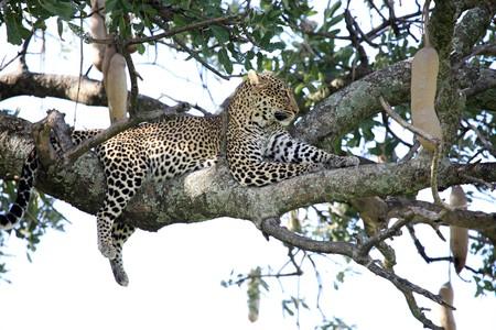 mara: Leopard - Maasai Mara National Park in Kenya, Africa