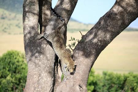 maasai mara: Leopard - Masai Mara National Park in Kenya, Africa