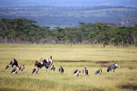 lake nukuru: Maribou Stork - Lake Nukuru National Park in Kenya, Africa
