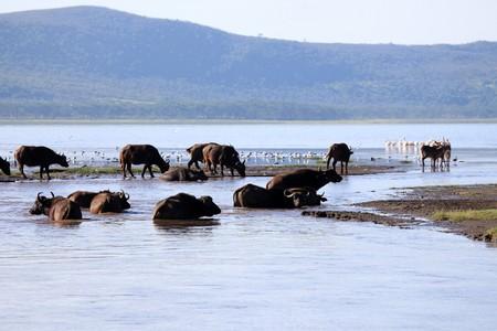 nukuru: Buffalo Herd - Lake Nukuru National Park in Kenya, Africa