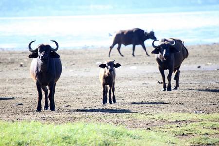 lake nukuru: Buffalo Herd - Lake Nukuru National Park in Kenya, Africa