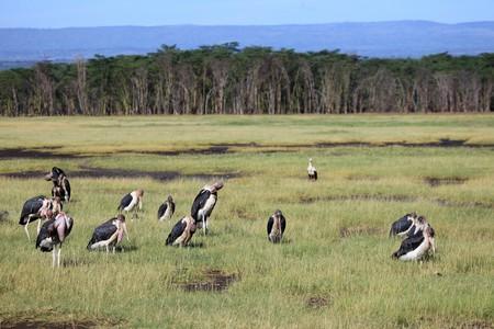 nukuru: Maribou Stork - Lake Nukuru National Park in Kenya, Africa