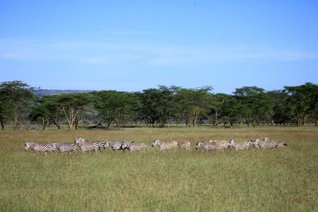 lake nukuru: Zebra - Lake Nukuru National Park in Kenya, Africa