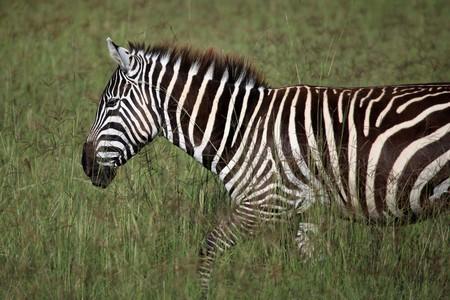 nukuru: Zebra - Lake Nukuru National Park in Kenya, Africa
