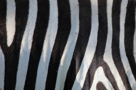nukuru: Zebra Skin Pattern - Lake Nukuru National Park in Kenya, Africa