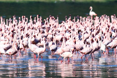 Pink Flamingoes - Lake Nukuru National Park in Kenya, Africa photo