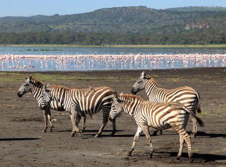 lake nukuru: Pink Flamingoes - Lake Nukuru National Park in Kenya, Africa