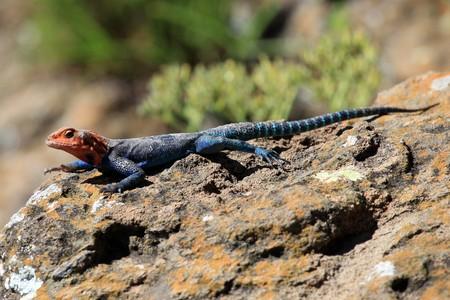 lake nukuru: Lizard - Lake Nukuru National Park in Kenya, Africa