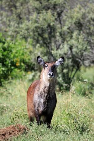 lake nukuru: Bush Buck - Lake Nukuru National Park in Kenya, Africa Stock Photo