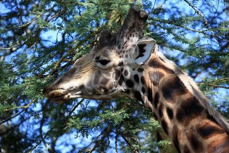 lake nukuru: Giraffe - Lake Nukuru National Park in Kenya, Africa