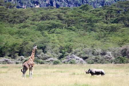 nukuru: Giraffe - Lake Nukuru National Park in Kenya, Africa