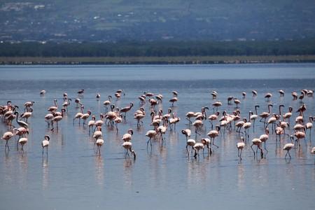 nukuru: Pink Flamingoes - Lake Nukuru National Park in Kenya, Africa