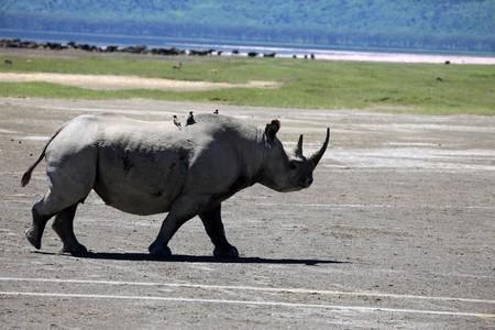 lake nukuru: Rhino - Lake Nukuru National Park in Kenya, Africa Stock Photo