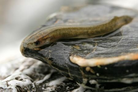 snake head fish: Piccole pesce su una roccia
