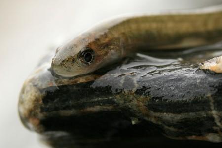 Tiny Fish on a rock Stock Photo - 7752104