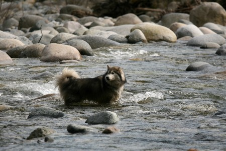Husky Dog in the River - Lynn Canyon National Park, Vancouver, BC, Canada photo