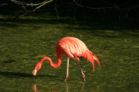 Flamingo - Vancouver Zoo in BC, Canada photo
