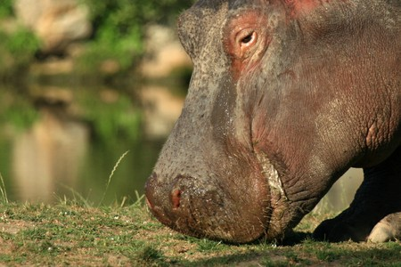 herbivore: Hippo - Vancouver in BC, Canada