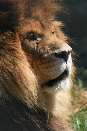 Lion - Vancouver Zoo in BC, Canada photo