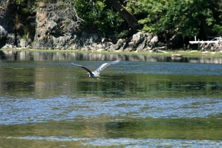 Heron Bird - Coastline of Victoria on Vancouver Island, BC, Canada photo