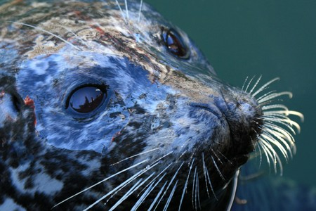 Seal at Fishermans Wharf in the City of Victoria, BC, Canada photo