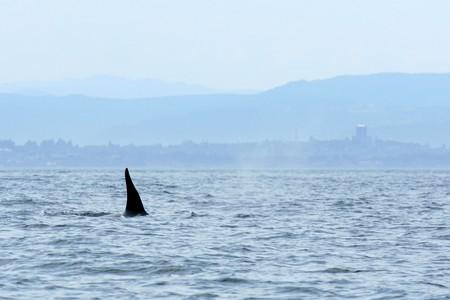 victoria bc: Orca Whale Watching, Victoria, BC, Canada