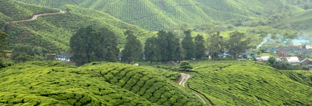 boh: Cameron Highlands Tea Plantations