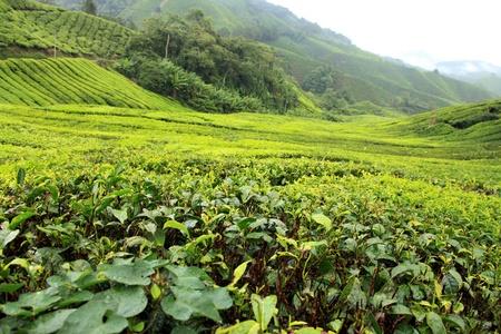 boh: Tea Plantation, Malaysia - Cameron Highlands