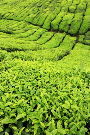 Tea Plantation, Malaysia - Cameron Highlands photo