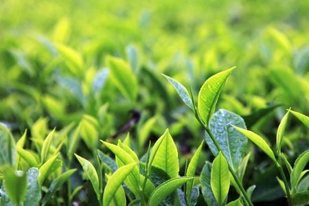Cameron Highlands Tea Plantations photo