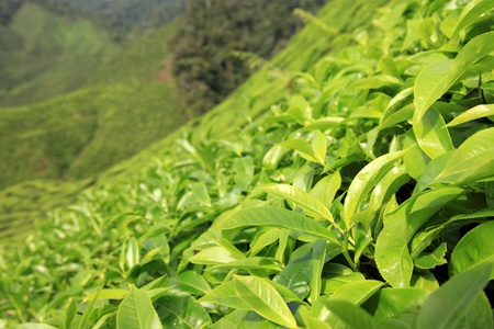 Fresh Tea Leaves - Tea Plantation, Malaysia - Cameron Highlands photo