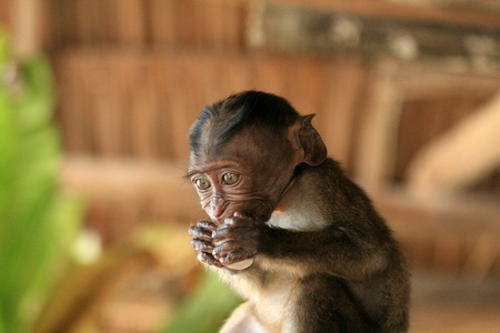 A baby long-tailed macaque monkey in the Philippines photo