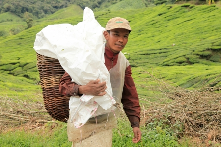 carying: TeaPlantation in Cameron Highlands, Malaysia