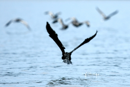 nile source: Cormorant at Lake Victoria - The Source of The River Nile - Uganda - The Pearl of Africa